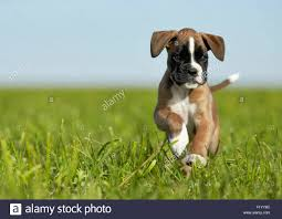 boxer dog yard art boxer puppy stock photos u0026 boxer puppy stock images alamy