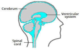 Thalamus Part Of The Brain The Ventricles Of The Brain Lateral Third Fourth