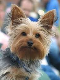 haircuts for yorkie dogs females interesting facts about yorkshire terrier look at that face just