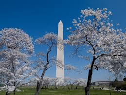 National Cherry Blossom Festival by The 5 Best Spots To Photograph Cherry Blossoms In Dc Washington