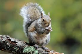 11 bushy tailed facts about eastern gray squirrels mental floss