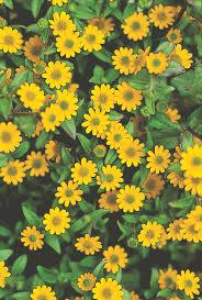 zinnias flowers growing zinnia plants tips on how to plant zinnias