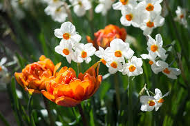 fill your yard with delightful daffodils angie the freckled rose