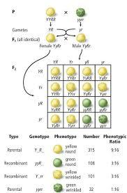 Dihybrid Crosses Worksheet Genetics Mendel Punnet Squares Meiosis Lessons Tes Teach
