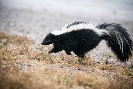 skunk removal why dealing with skunks stinks abc humane wildlife