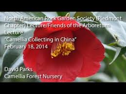 camellia collecting in china