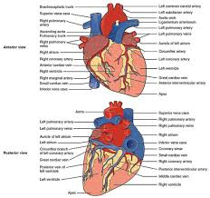 images of anatomy choice image learn human anatomy image