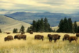 Bison Connect Department Of Interior U S Fish And Wildlife Service To Host Two Public Meetings For
