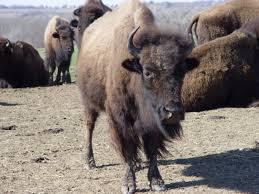 Iowa wild animals images Buffalo in southwest iowa by dhennem photo weather underground jpg