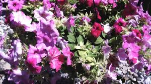 hanging flower baskets draper flowerpros utah youtube