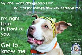 american pitbull terrier qualities progressive animal sheltering dogs are individuals first