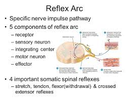 Relex Arc Spinal Reflexes Automatic Response To Change In Environment Ppt
