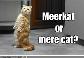 Mere Cat Meme - meerkat or mere cat cheezburger funny memes funny pictures