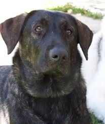 belgian shepherd for sale in pakistan 9 best cão de castro laboreiro images on pinterest google