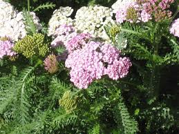 perennial plants for fall perennial flowers hgtv the yarrow produces mounds of beautiful flowers