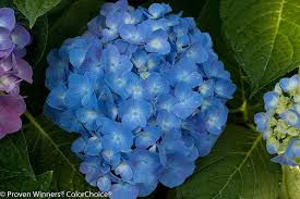 amazon com let u0027s dance blue jangles reblooming hydrangea live