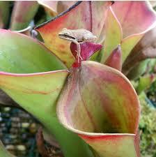 sun pitchers heliamphora growing tips