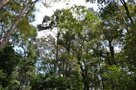 Under Canopy Rainforest by Local Communities Rush To Save Kenya U0027s Only Lowland Rainforest