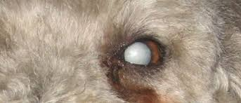 Blind Dog Eye Discharge Cataracts In Dogs Causes Signs And Treatment Dr Elliot Pet