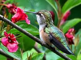 hummingbird flowers hummingbird weigela flowers