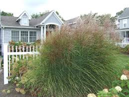 ornamental grasses lawnsite