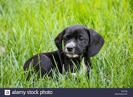 Black And Tan Beagles Beagle Mix Stock Photos U0026 Beagle Mix Stock Images Alamy