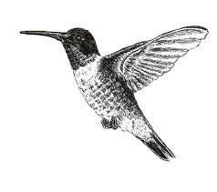 hummungbird sketch chuck does art ruby throated hummingbird ink