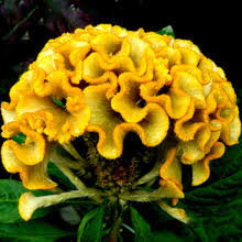 Flower Seeds Online - compare prices on celosia flower seeds online shopping buy low