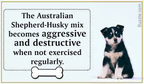 shedding an australian shepherd amazing information about the australian shepherd husky mix breed
