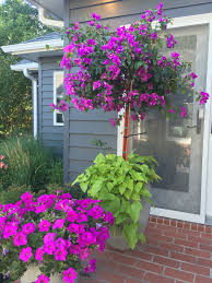 Potted Plant Ideas For Patio by Bougainvillea Tree Patio Flowers Potted Plants Full Sun