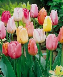 the single late pastel tulip mixture single late tulips tulips