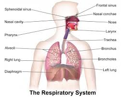 Human Anatomy Respiratory System Thirty Surprising Facts About The Respiratory System Owlcation