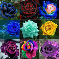 roses colors new colourful rainbow seeds package seeds plant garden