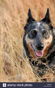 australian shepherd qld a female australian cattle dog or queensland blue heeler who is