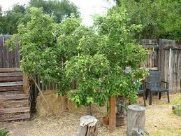 Dave Wilson Nursery Backyard Orchard by Backyard Orchard Culture By Oldretiredjim Gardentenders Com