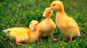 hola como puedo hacer unas alas de pato para nia de 4 tener un pato como mascota