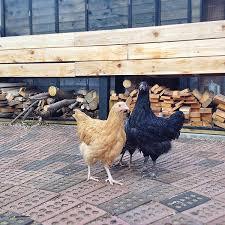 Chicken In Backyard Chickens U2013 Blue Heron Ecohaus