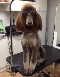 hair styles at the shoodle in animal crossing new leaf 355 best hi standards images on pinterest poodles standard