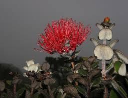Hawaiian Flowers And Plants - hawaiian flowers and plants leighs gallery