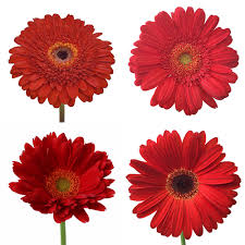 gerbera daisies gerber flower