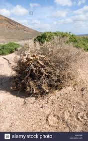 tumbleweed tumbleweed tumbleweeds tumble weed weeds desert blowing around