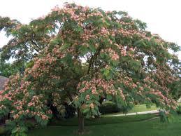 mimosa is called silk tree or powderpuff tree albizia julibrissin