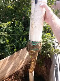 bell siphons and tomato roots santa barbara aquaponics