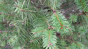 select the perfect christmas tree at a whatcom county tree farm
