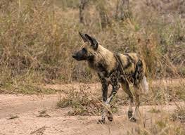 safari ltd african wild dog african wild dog tireless hunter https www