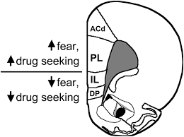 Seeking Pl Extinction Circuits For Fear And Addiction Overlap In Prefrontal