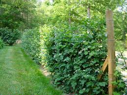blackberry trellis on the cheap t bar fence posts and aluminum