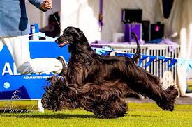 afghan hound therapy dog this u0027supermodel u0027 afghan dog will blow your mind with its well