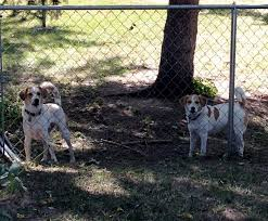 my dirty little secret u2013 my dogs are fence fighting no dog about