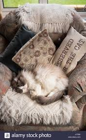 Sleeping In A Chair A Ragdoll Cat Sleeping In A Chair Sometimes Reserved For The Cat